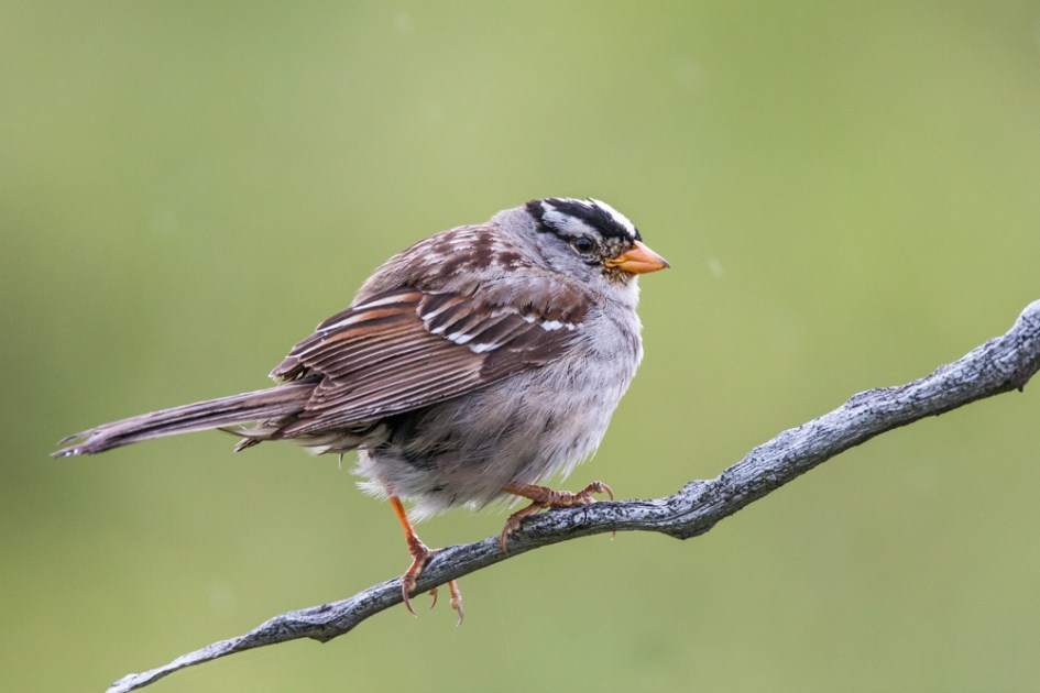 A White-crowned Sparrow (Zonotrichia leucophrys) in Denali National Park, AK, USA