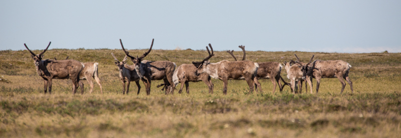 Band of caribou on the coastal plain of the Arctic Refuge, June 2015.