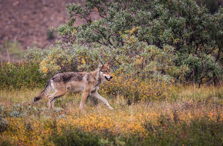 A female wolf in Denali National Park, Alaska.