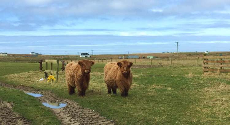 tiree-cows-blog