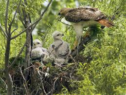 red tailed hawks nesting