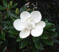 Small Of Little Gem Magnolia