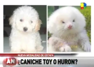Man Sold Ferrets As Poodles: Yep That Happened