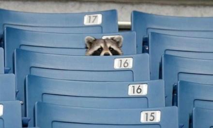 mets catch baby raccoon: Raccoon Hangs Out in Mets Weight Room