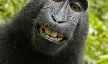 Monkey selfie lawsuit:  Can A Monkey Own a Copyright? (PHOTO)