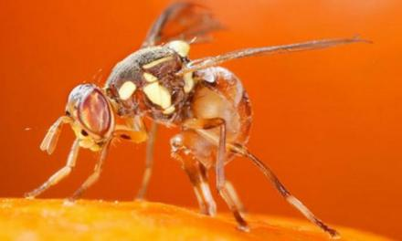 invasive fly in Florida causing massive destruction to crops: REPORTS