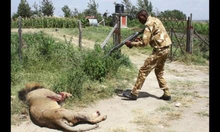 Mohawk the lion killed:  Beloved Lion Killed (PHOTO)