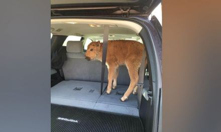 Yellowstone bison calf euthanized after photo goes viral