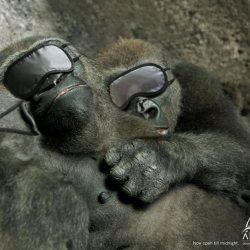 Sleeping-Gorillas-o