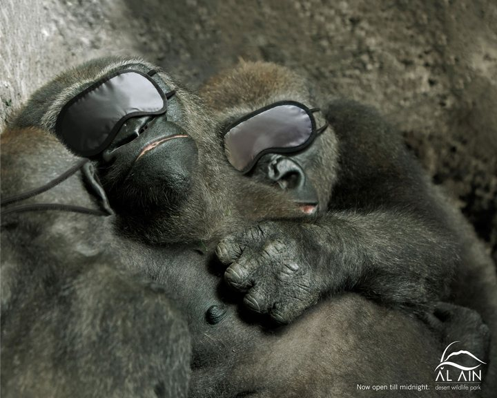 Sleeping-Gorillas-o
