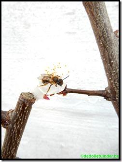 Metselbij op abrikoos