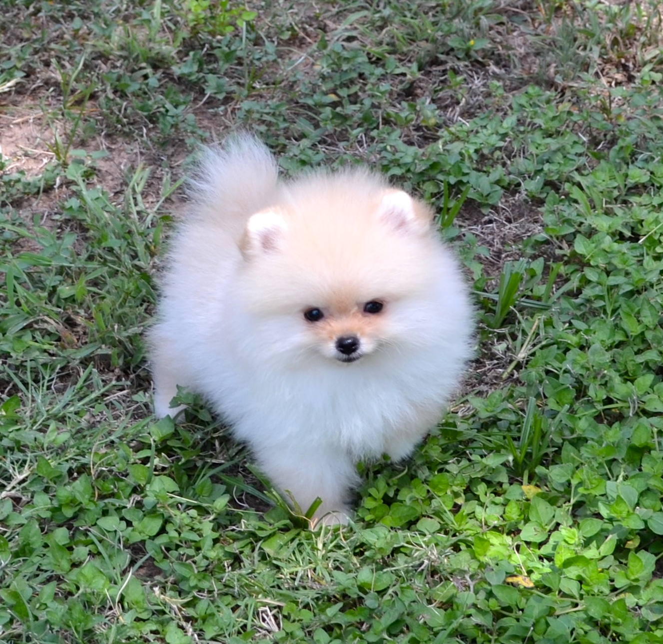 Mesmerizing Ones We Have Poms Dee Pomeranians How Long Do Toy Pomeranians Live How Long Do Maltese Pomeranians Live This Is A Page Dedicated To None Se Poms Are But Simply Examples bark post How Long Do Pomeranians Live
