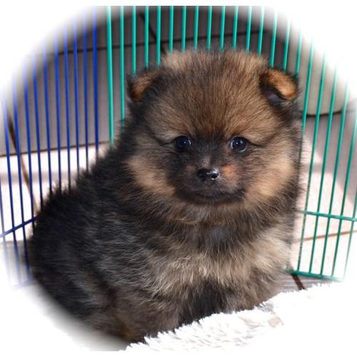 Medium Crop Of How Long Do Pomeranians Live