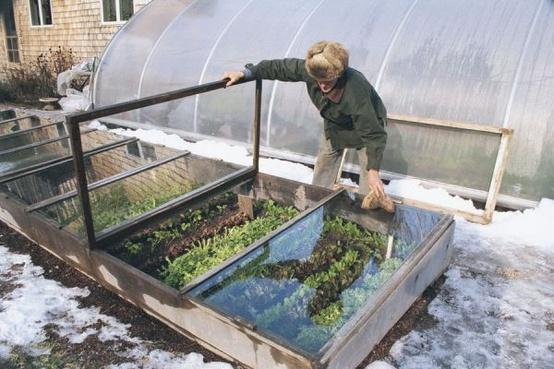 cold frame in snow, Turnip Truck, kitchen garden, lettuces