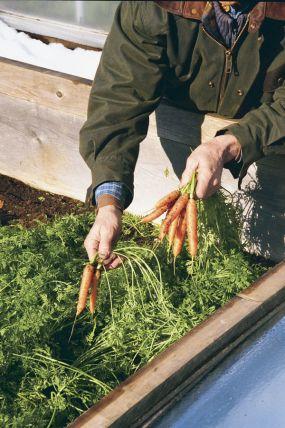carrots grown in cold frame, under snow, kitchen garden, Turnip Truck
