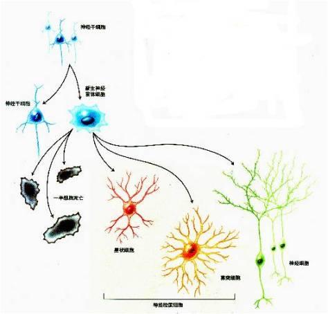 下可以分化为神经元,星形胶质细胞和少突胶质细胞