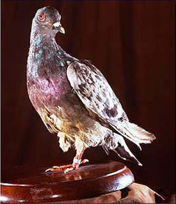Cher Ami, winner of France's Croix de Guerre with Palm, as well as other honors, as displayed at the Smithsonian.