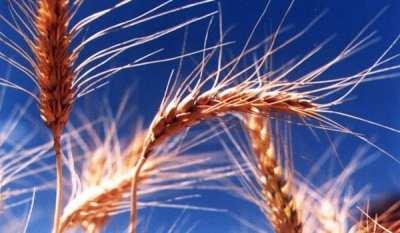 Recetas de belleza con germen de trigo