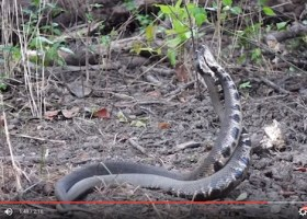 Screen capture from Video by Layne Logue of Two Male Cottonmouths in a territory fight over mating rights.