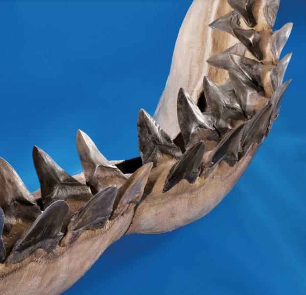 dentmegalodon