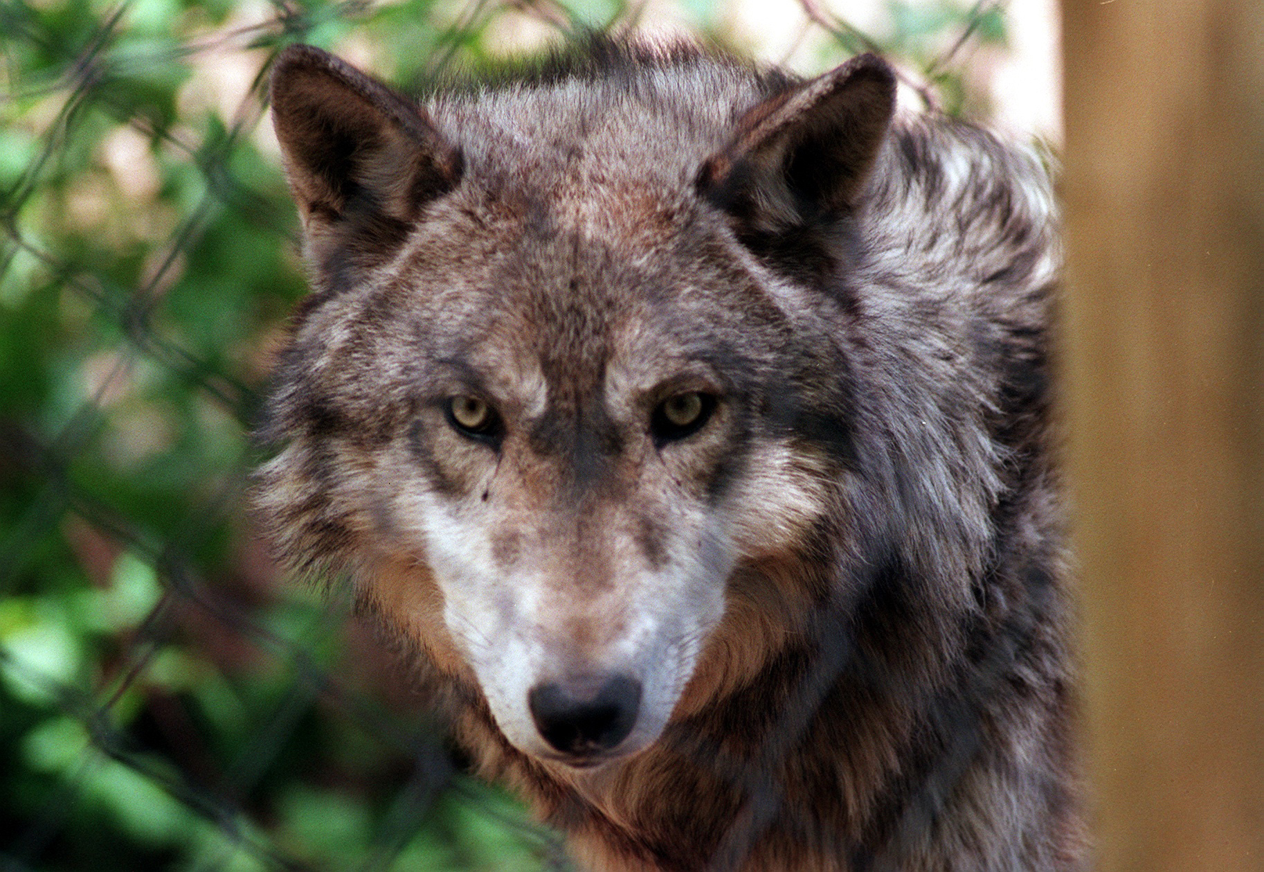 Luxurious California Wolves Colorado Sanctuary Offers Safe Home To Abandoned Denver Post Colorado Sanctuary Offers Safe Home To Abandoned Wolves Sale Tennessee Sale bark post Wolves For Sale