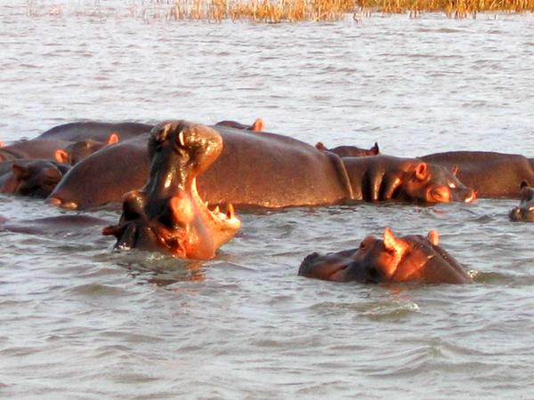 Hippipotames à Santa Lucai