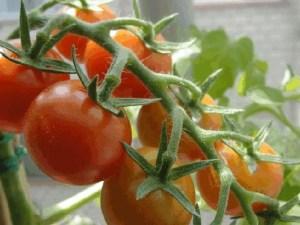 sembrar-tomates