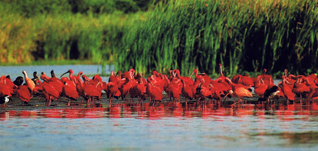 Pájaros-Corocoras