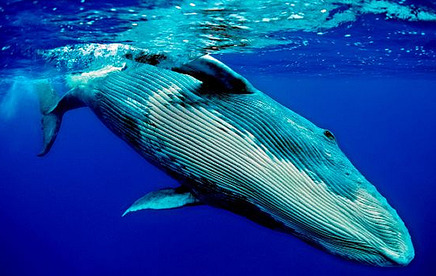 La-ballena-azul