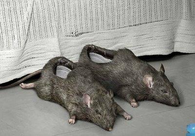 rat shoe