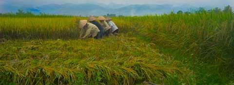 Rice Harvest Scene
