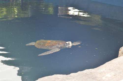 Giant turtle, Maui, Hawaii