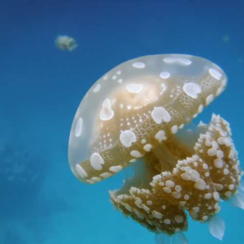 In this marine lake, we were surrounded by harmless jellyfish.
