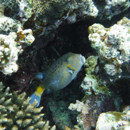 Palau: Box Fish