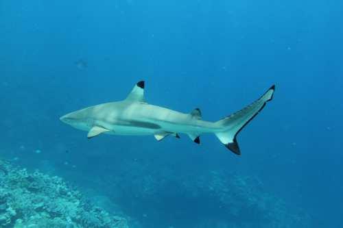 Caption: Black-tipped Shark! (Harmless.) Credit: Ron Leidich