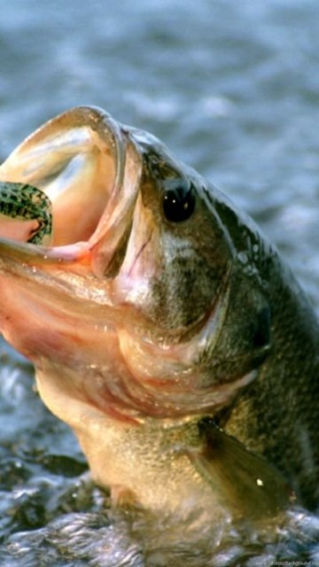 Largemouth Bass Fish Wallpapers Desktop Background