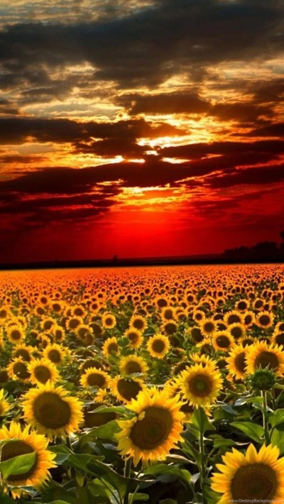 Sunflower iPhone Wallpapers For Laptops 10182 HD Wallpapers Site Desktop Background