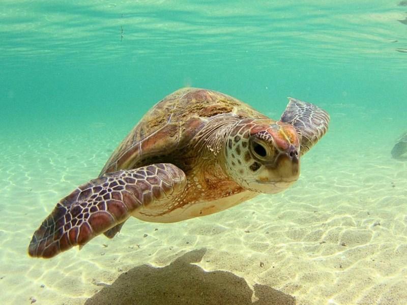 Large Of Sea Turtle Wallpaper