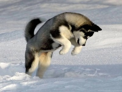Dogs: Dog Playing Snow Animal Winter Cool Wallpapers For HD 16:9 ... Desktop Background