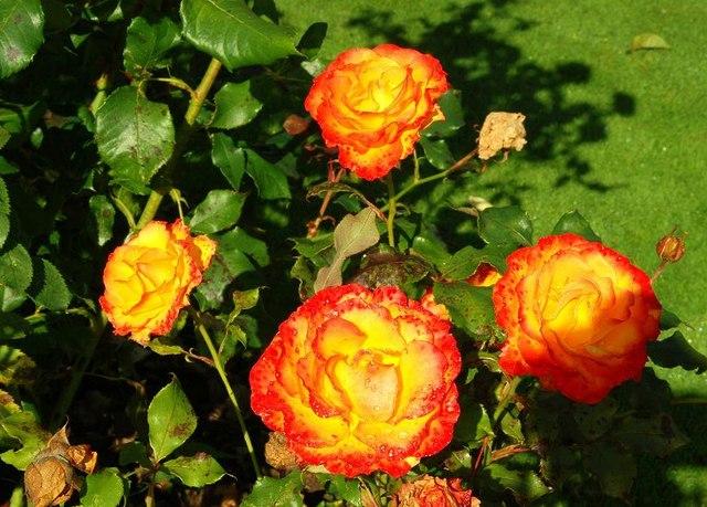 Autumn_roses,_Botanic_Gardens,_Belfast_(1)_-_geograph.org.uk_-_984719