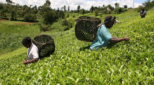 Tea-Farming-in-Kenya.jpg