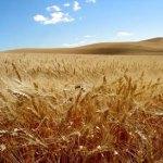 barley_field