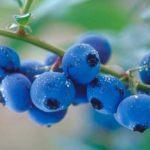 blueberries-04