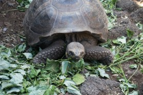 Galapagos Cruise - Santa Cruz Island: Tortoise Breeding Center