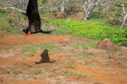 Galapagos Cruise - North Seymour: A bird-filled island