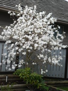 Star Magnolia Tree in our garden by Diana Stevan