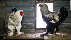 pollo-gigante