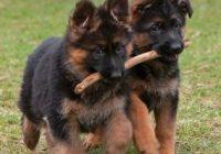 pastor-aleman-cachorros-de-padres-importados-D_NQ_NP_806459-MLM29358033131_022019-Q