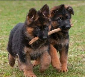 Imagenes de perros pastor aleman