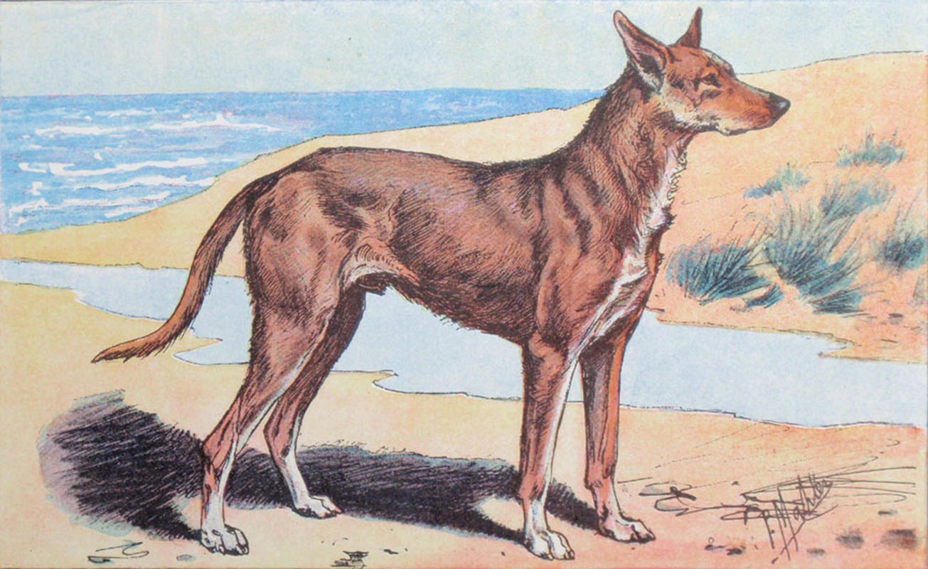 Alluring War Ancient Greek Dog Breeds Primitive Dogs Mediterranean Basin Ancient Dog Breeds Extinct Primitive French Breed Sighthounds Italy bark post Ancient Dog Breeds
